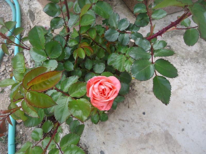 les roses en 2015 Dsc03735