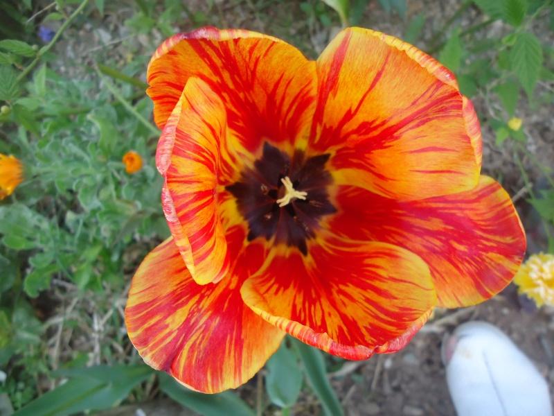 Tulipe 2012  - Page 9 Dsc03840