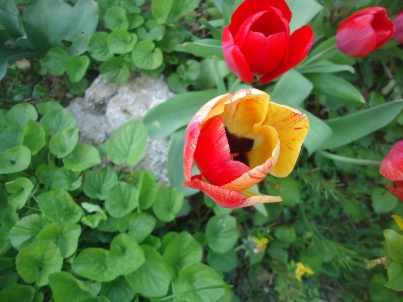 Tulipe 2012  - Page 9 Dsc03843