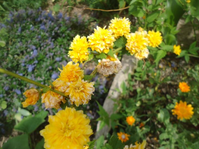 Corete a fleurs double Dsc04032