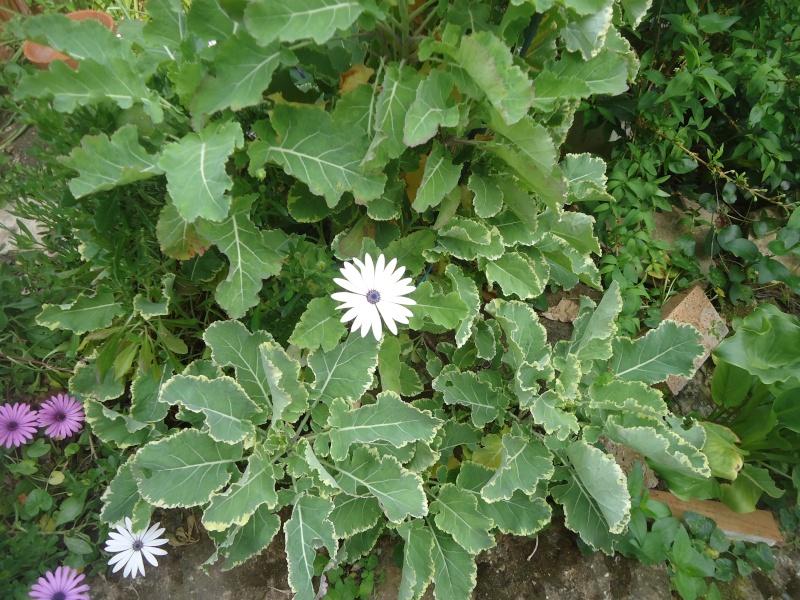 Brassica oleracea   choux Crème Chantilly  - Page 2 Dsc04033