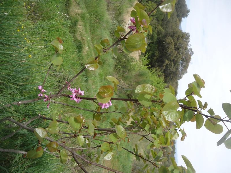 Bouturage de l'arbre de Judée. (Cercis siliquastrum) - Page 2 Dsc04110