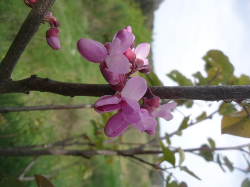 Bouturage de l'arbre de Judée. (Cercis siliquastrum) - Page 2 Dsc04111