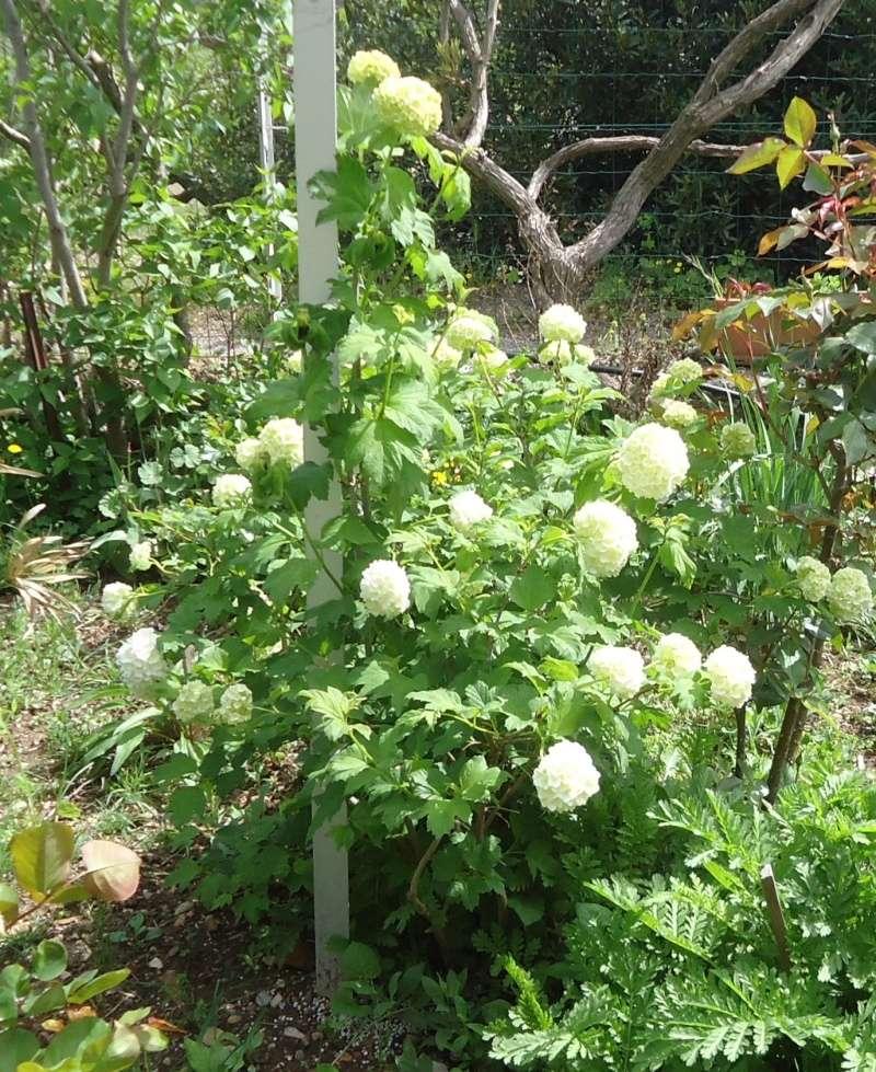 Viburnum opulus, Viorne obier, Boule de neige - Page 4 Dsc04126