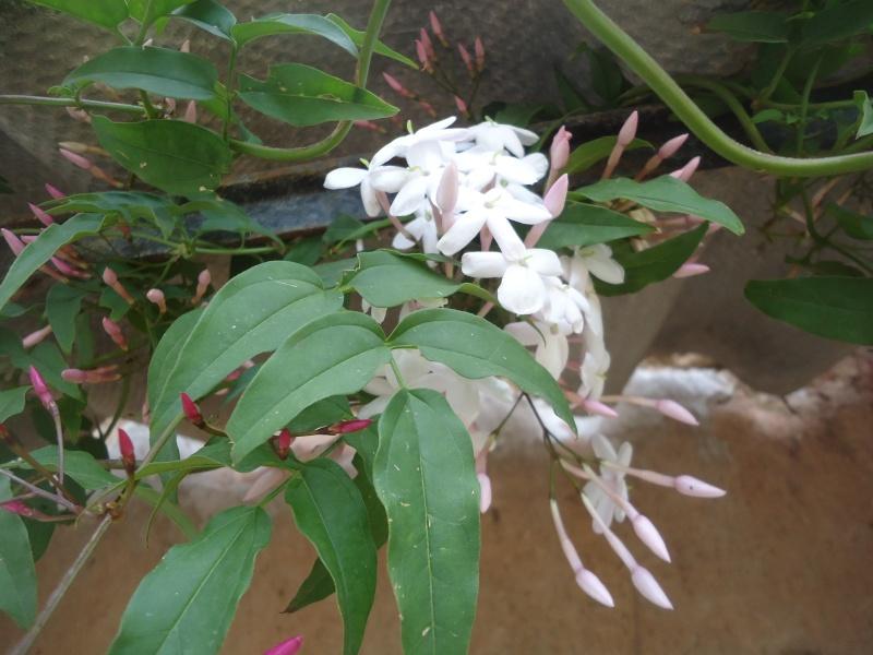 Grimpante à identifier : Trachelospermum, jasmin étoilé Dsc04154