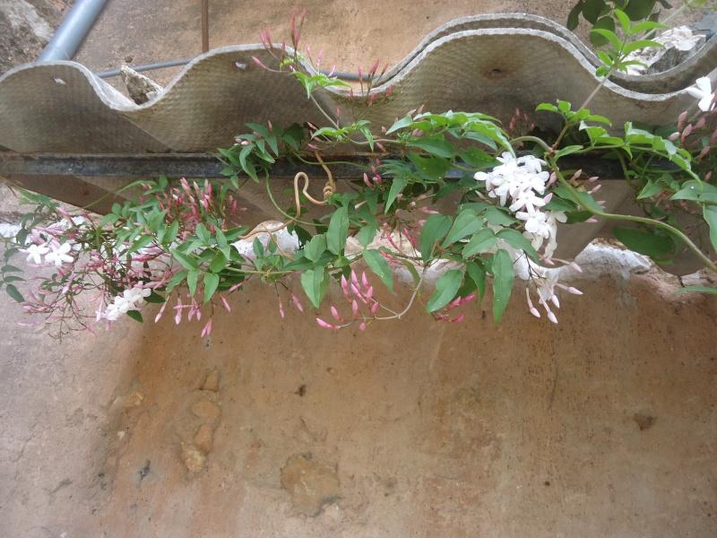 Grimpante à identifier : Trachelospermum, jasmin étoilé Dsc04156