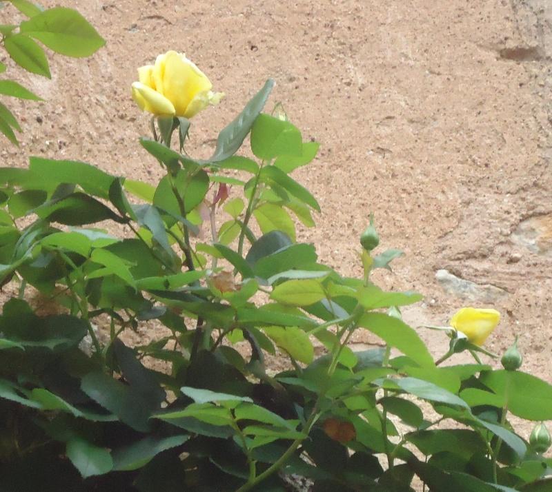 les roses en 2015 Dsc04311