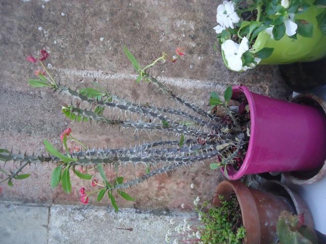 Euphorbia milii ou Epine du Christ - Page 2 Dsc04313