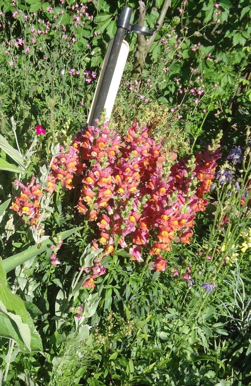 Muflier, Gueule-de-loup ou Gueule-de-lion (Antirrhinum majus) des jardins 2013 Dsc04417