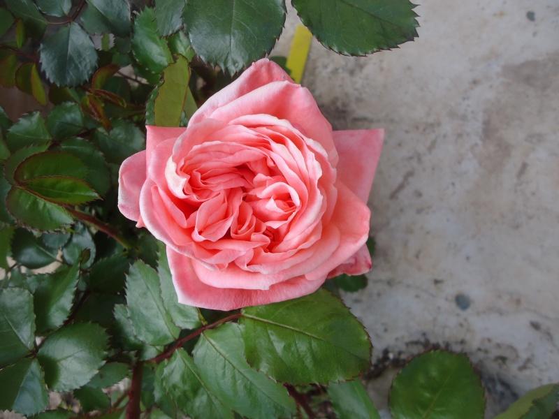 les roses en 2015 Sonia10