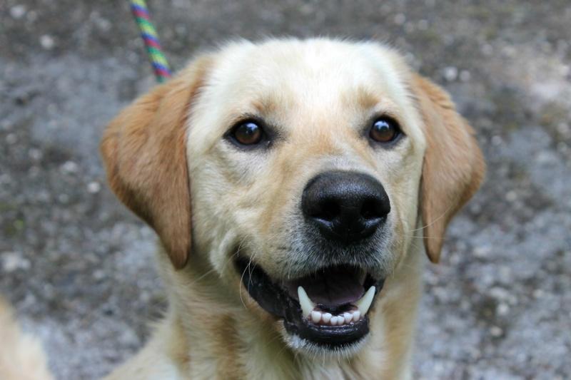 HONEY Labrador sable 250269810518013 (Réservé ) Honey110