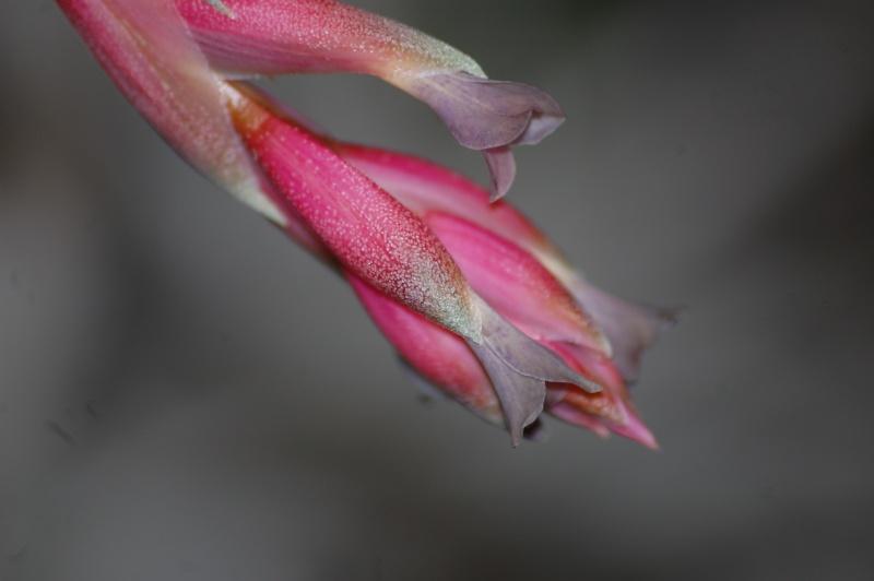 Tillandsia purpurea Dsc_2511