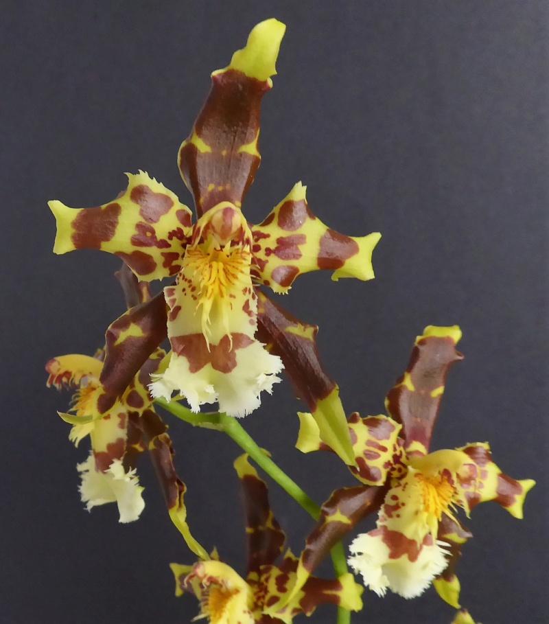 Cyrtochilum grandiflorum Odonto24