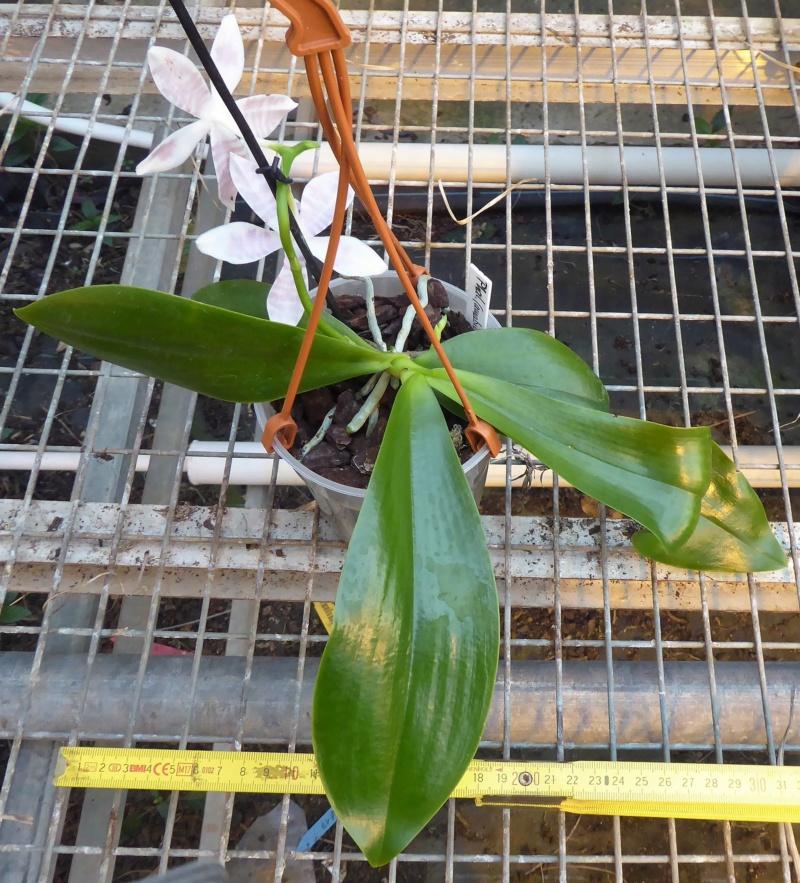Phalaenopsis amabilis x tetraspis (Helga Lukassen) P1000715