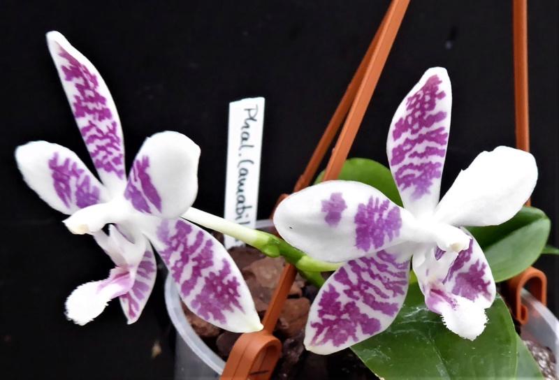 Phalaenopsis amabilis x tetraspis (Helga Lukassen) P1010012