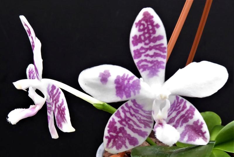 Phalaenopsis amabilis x tetraspis (Helga Lukassen) P1010014
