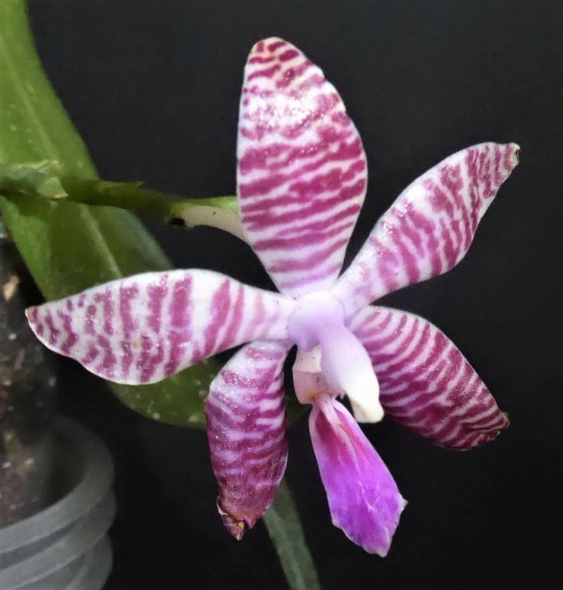 Phalaenopsis amboinensis x lueddemanniana (Phal. Ambomanniana) P1020811