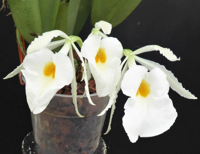 Trichopilia fragrans P1030610