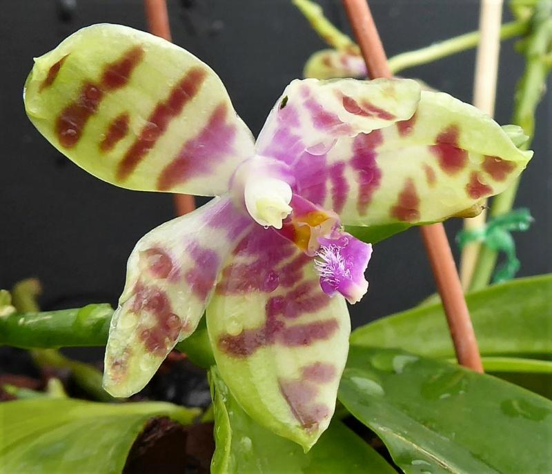 Phalaenopsis doweryensis x floresensis (rofino) = Asendorf Hellhound P1030619