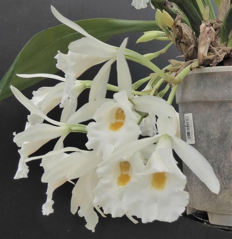 Trichopilia hennisiana P1030916