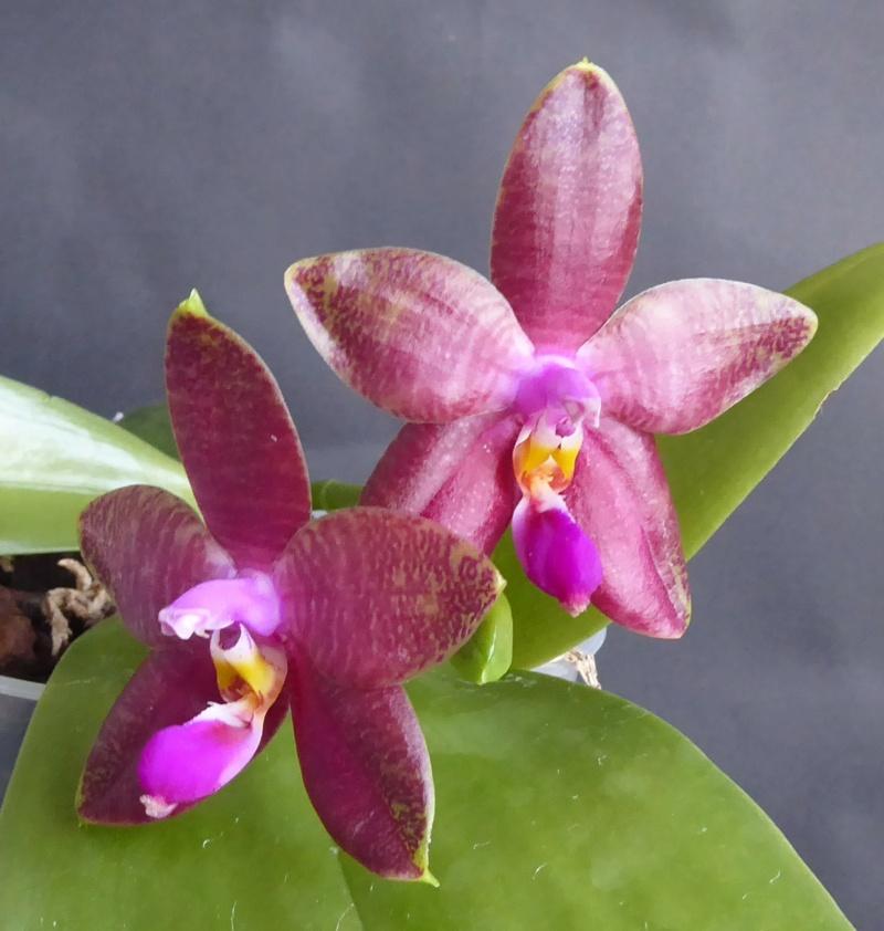 Phalaenopsis amboinensis x bellina  / Guadalupe Pineda - Seite 2 Phala107