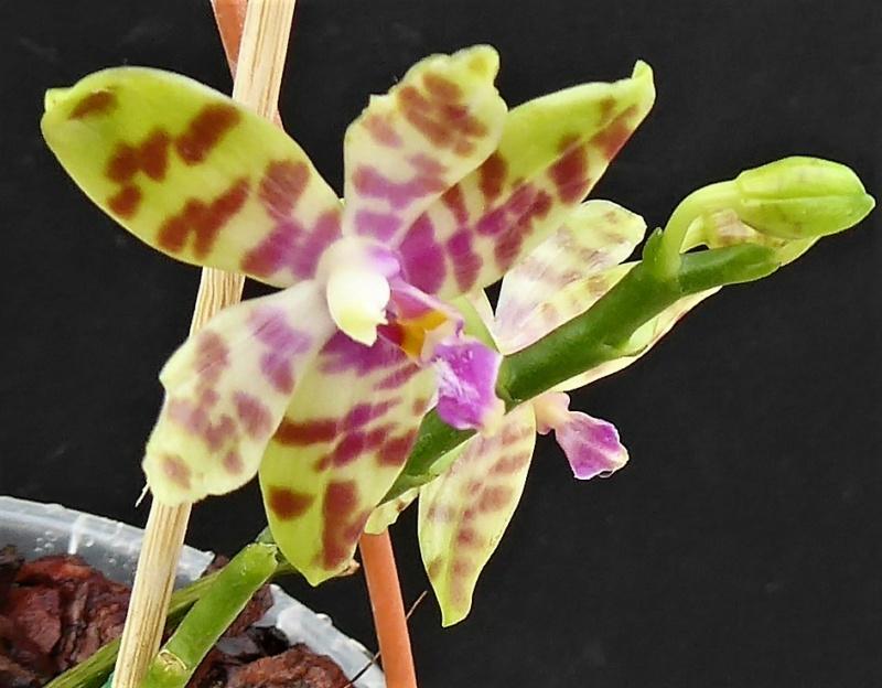 Phalaenopsis doweryensis x floresensis (rofino) = Asendorf Hellhound Phala114