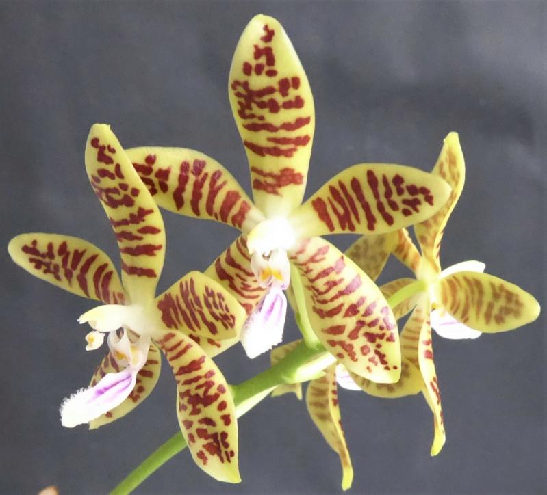Phalaenopsis tetraspis x viridis Phala125