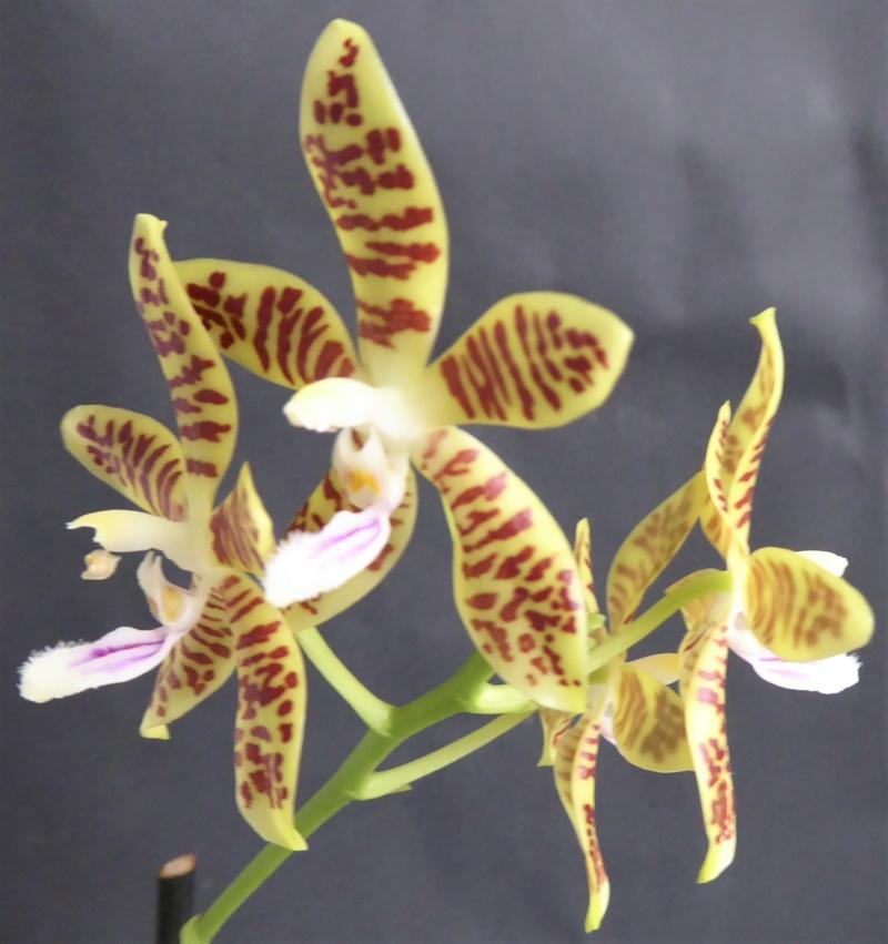 Phalaenopsis tetraspis x viridis Phala126