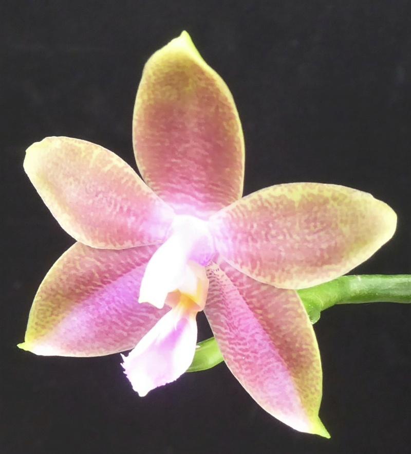 Phalaenopsis venosa x mentavaiensis (= Alba Men´s Venosaiensis) Phala184