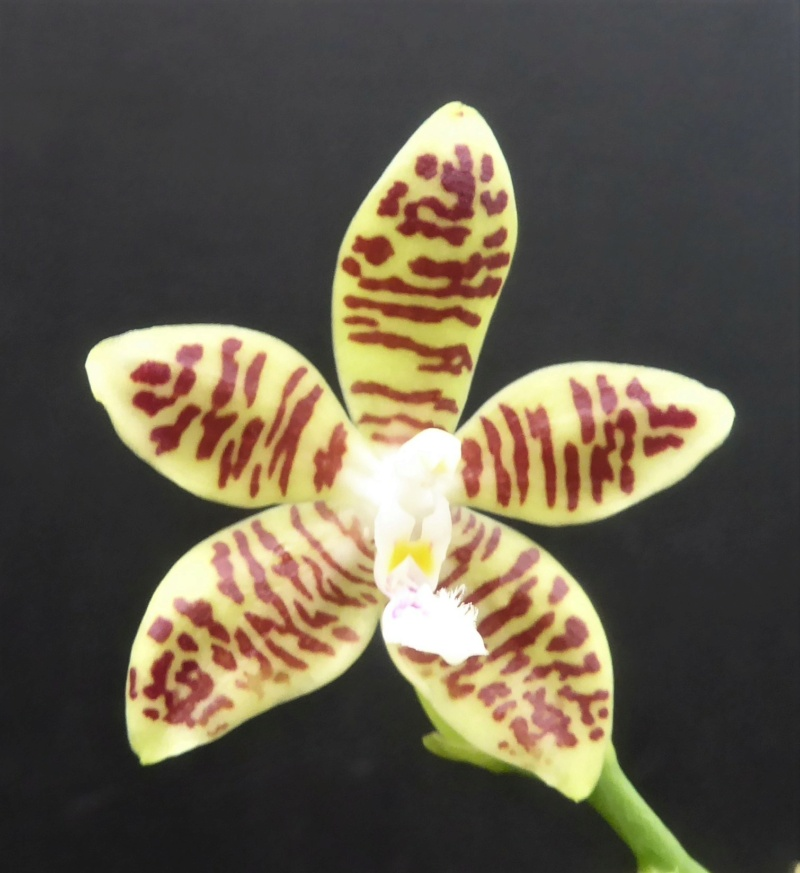 Phalaenopsis tetraspis x viridis (= Wössner Mücke) Phala186