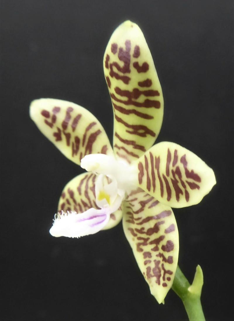 Phalaenopsis tetraspis x viridis (= Wössner Mücke) Phala187