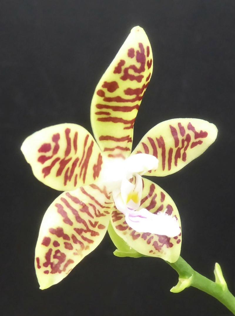 Phalaenopsis tetraspis x viridis (= Wössner Mücke) Phala188