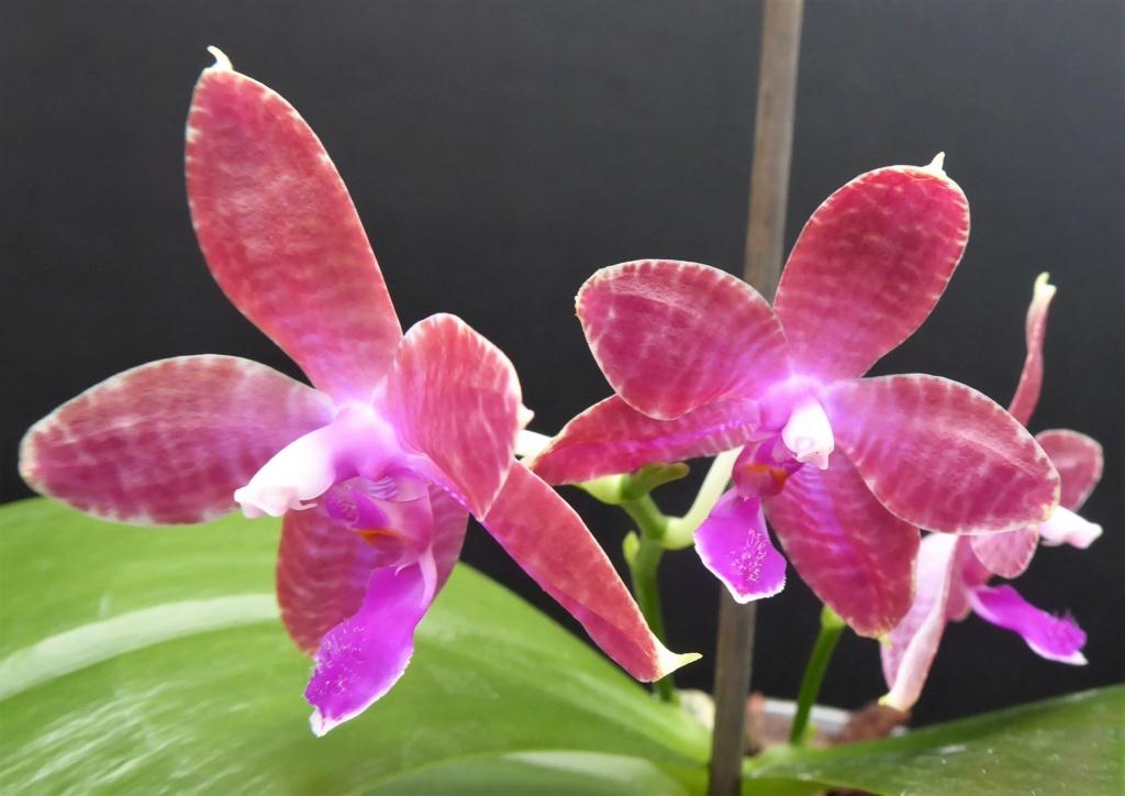 Phalaenopsis tetraspis x lueddemanniana (Telu) Phala208