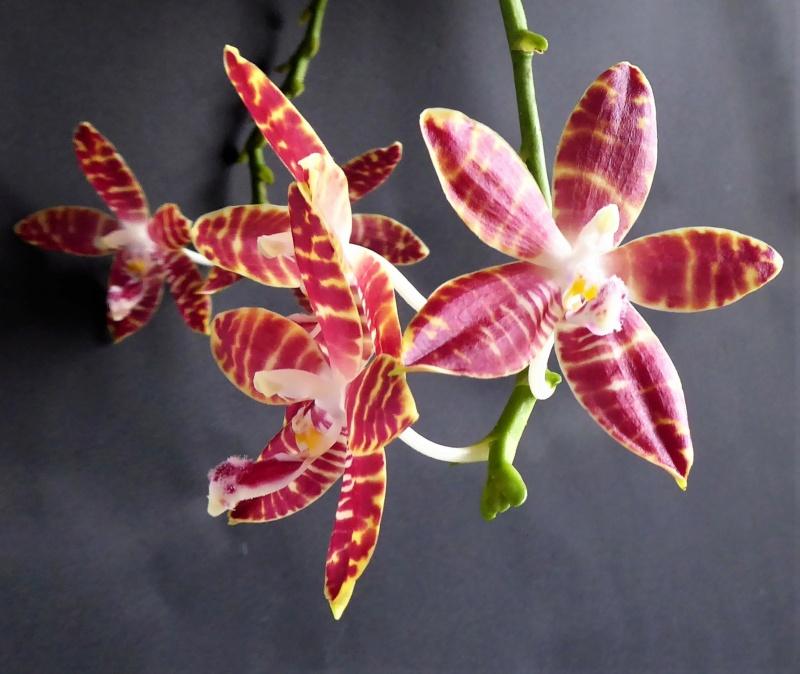 Phalaenopsis speciosa pink x amboinensis flava Phalae80