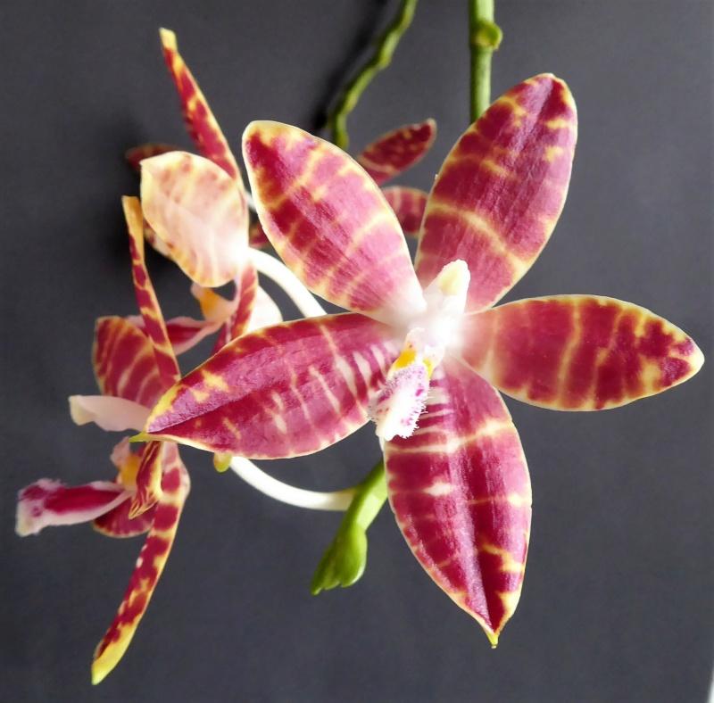 Phalaenopsis speciosa pink x amboinensis flava Phalae81