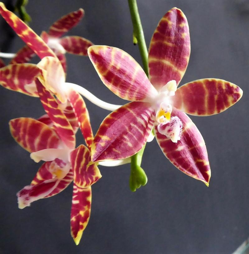 Phalaenopsis speciosa pink x amboinensis flava Phalae82