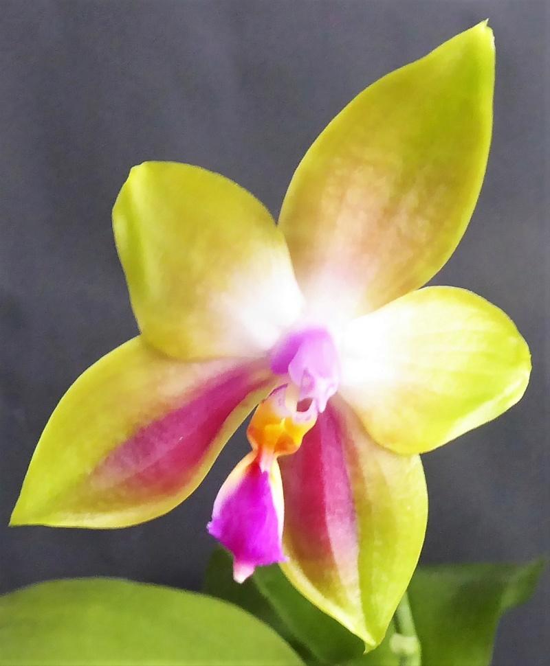 Phalaenopsis venosa x bellina (JIG) - Seite 3 Phalae86