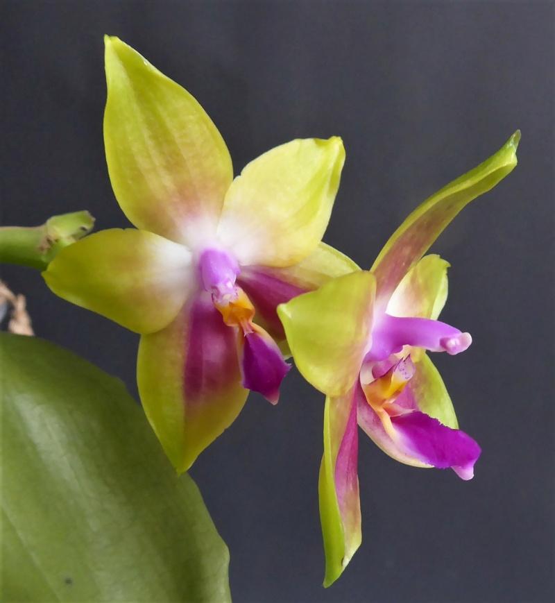 Phalaenopsis venosa x bellina (JIG) - Seite 3 Phalae87