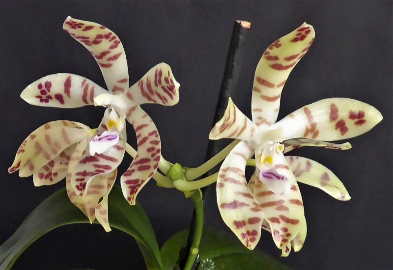 Phalaenopsis speciosa x doweryensis n.r. Phalae88