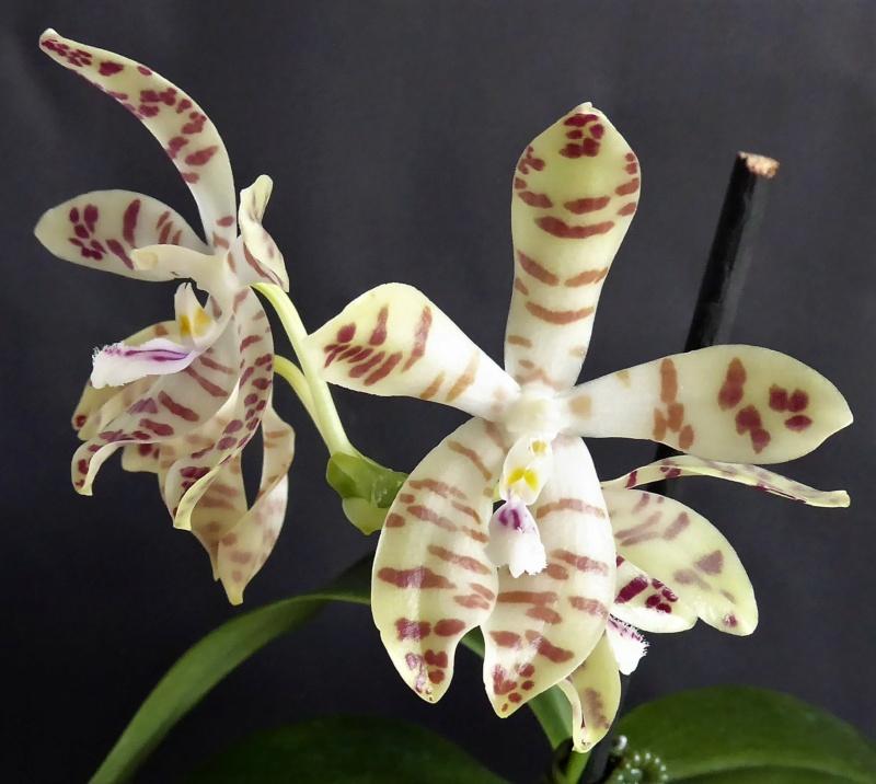 Phalaenopsis speciosa x doweryensis n.r. Phalae89