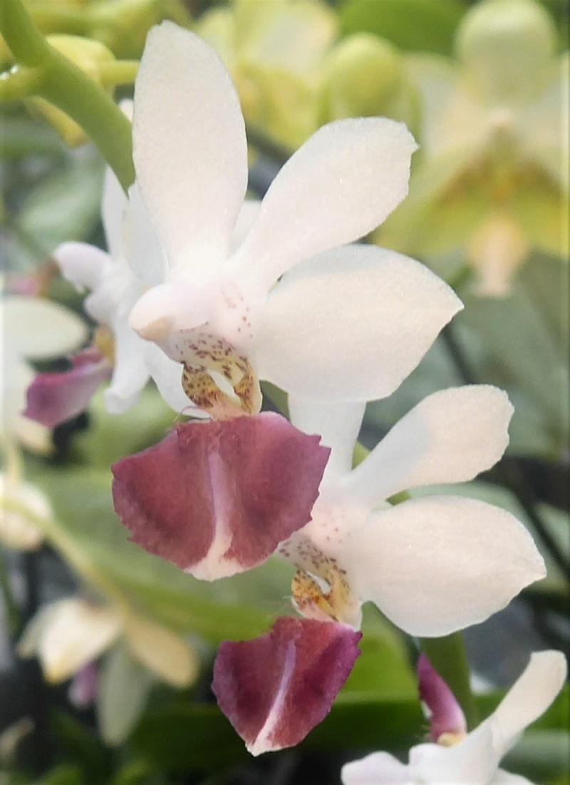 Phalaenopsis equestris x finleyi (Donna's Delight ) - Seite 5 Phalae90