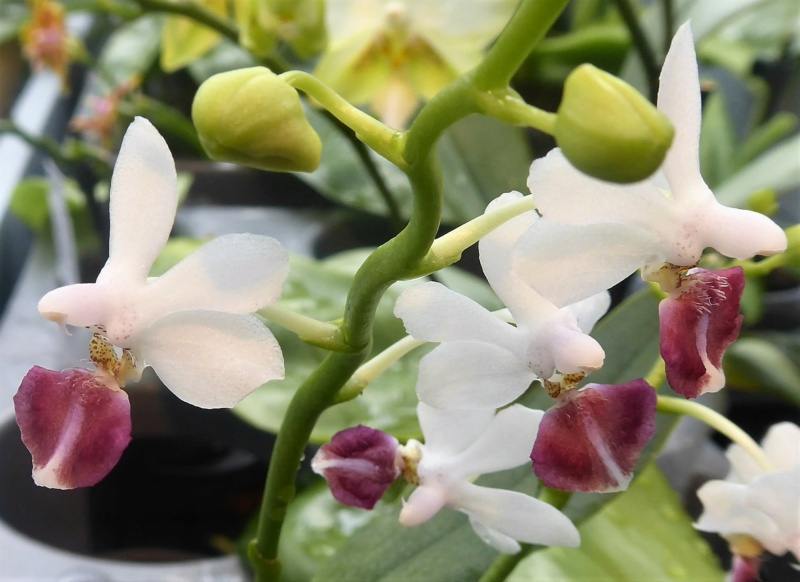 Phalaenopsis equestris x finleyi (Donna's Delight ) - Seite 5 Phalae91