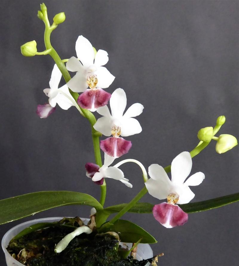 Phalaenopsis equestris x finleyi (Donna's Delight ) - Seite 5 Phalae92