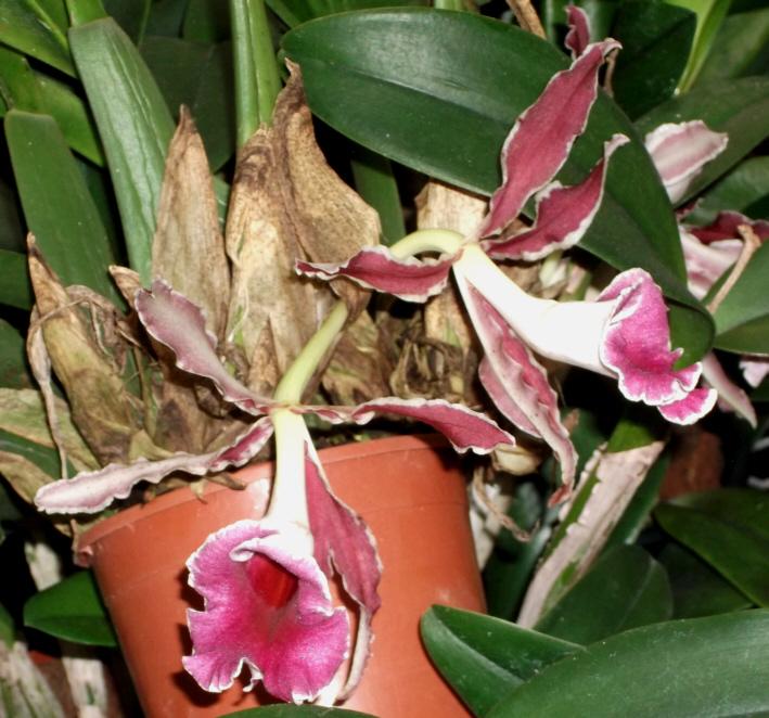 Trichopilia marginata Tricho11