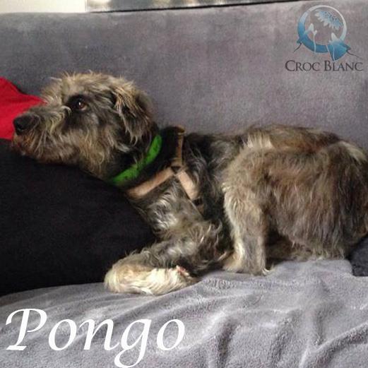 PONGO - griffon 3 ans - en FA pour Asso Croc Blanc (69) Pongo_11