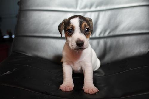 Chiots femelles et male jack russell terrier LOF _copie13