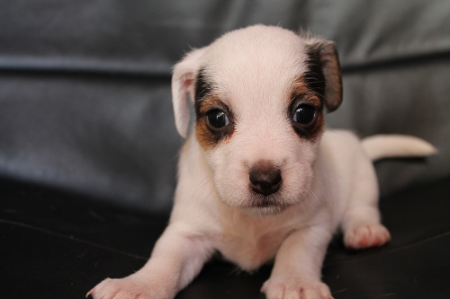 Chiots femelles et male jack russell terrier LOF _copie16