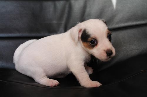 Chiots femelles et male jack russell terrier LOF _copie17
