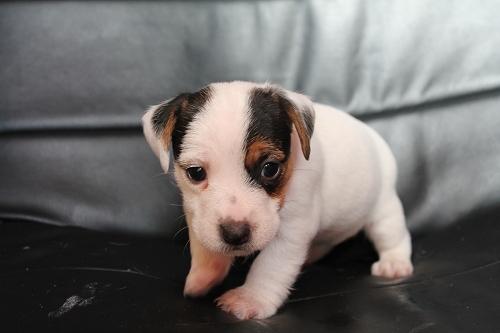 Chiots femelles et male jack russell terrier LOF _copie20