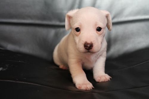 Chiots femelles et male jack russell terrier LOF _copie23